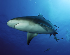 overhead pass (Fiona Ayerst) Tags: ocean blue motion beauty animals grey shark big underwater indian teeth scuba bull sharks strength mozambique zambezi