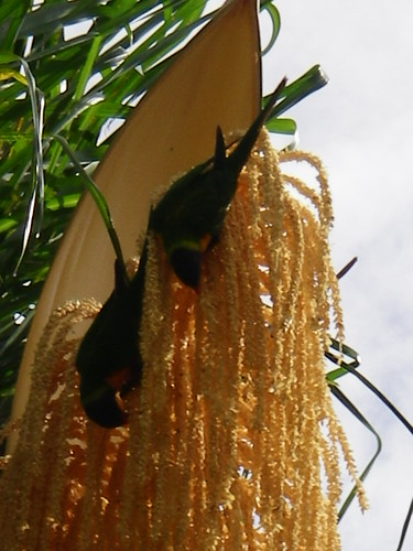 Parrots in a Palm Tree