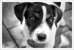 Meet Ned (~* Rae Rae *~) Tags: family blackandwhite copyright dog cute love puppy eyes gorgeous fluffy jackrussell ned patchy raethrenoworthphotography impressedbeauty woofa blueelementphotography raethrenoworth blueelement