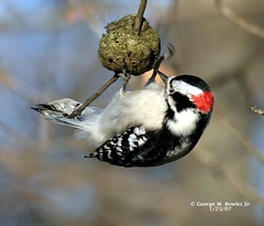 Woodpecker,Downy by George W Bowles Sr (georgesr58) Tags: county lake bird nature scott george woodpecker bravo feeding w indiana hardy bowles downey ias blueribbonwinner specanimal animalkingdomelite abigfave supremeanimalphoto colorphotoaward impressedbeauty avianexcellence