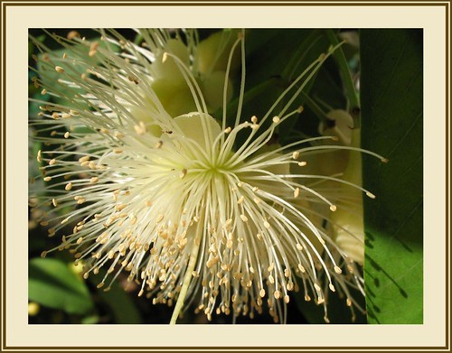 The final result - A framed image of the flowers of Java Rose Apple