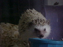 Hedgie Face