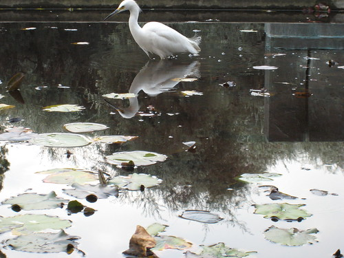 Egret fishing in the Caltech lily ponds