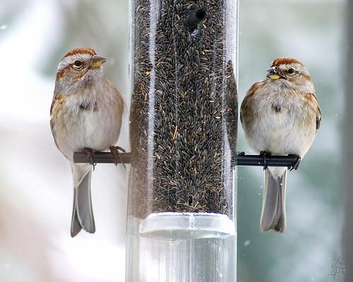 Bruants Hudsonien / Américan Tree Sparrows