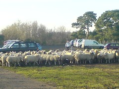 sheep in the carpark