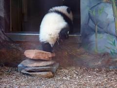 I'm gone! (bob2cleo) Tags: panda zooatlanta pandas meilan