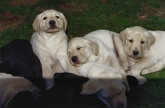 Bess' puppies - 2000 (Chris&Steve) Tags: dog dogs puppy puppies labrador litter labs labradorretriever ourgarden v400i