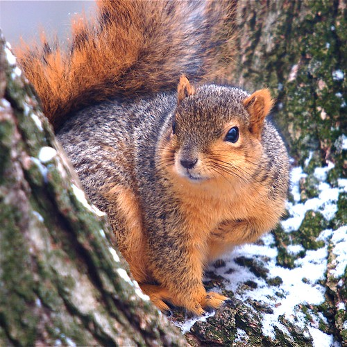 FOX SQUIRREL POSING