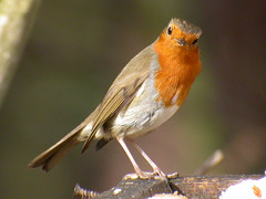 Robin, Sandringham (Norfolk), 12-Feb-07 (Dave Appleton) Tags: bird robin birds european erithacusrubecula erithacus norfolk lunchhour sandringham europeanrobin rubecula passerine