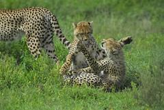 games (La Lince) Tags: specanimal animalkingdomelite tanzaniawildlifeafricanwildlifenatureafricaanimal cheethasacynonyxjubatusfelinebigcapredaorcubspredatormammalcarnivorengorongoroconservationarea