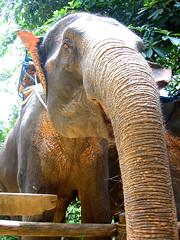 Слон, на котором я ездил по джунлгям.