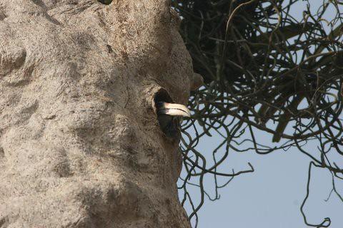 MG Hornbill in the nest(7)