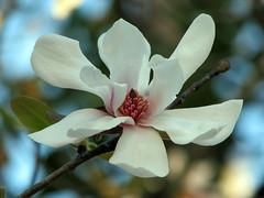 Star magnolia (JenniferNelms) Tags: blue white flower nature botanical interestingness jen searchthebest blossom bokeh charleston magnolia cypressgardens 65 starmagnolia blueribbonwinner interestingness65 i500 outstandingshots flickrsbest mywinners abigfave anawesomeshot colorphotoaward impressedbeauty superbmasterpiece jenatl