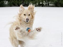 Miesha (Padrone) Tags: cute goldenretriever perfect action loveit incredible miesha