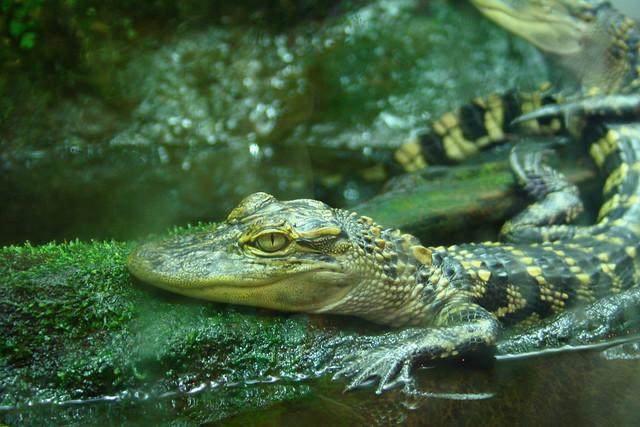 Baby Gator @ Dauphin Island Estuarium
