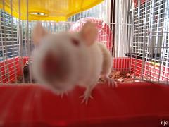 WHOA, DoF!! (onelungbreathin) Tags: white rat dof bokeh cage depthoffield fatty albino whoa rattie natty nataly mypetrat wwwnjcphotographycom