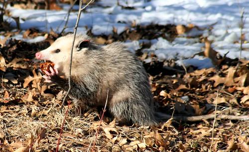 opossum 02