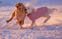 Lincoln and Nora (Russ Beinder) Tags: dog chien snow topv111 goldenretriever topv555 topv333 bc topv1111 topc50 topv999 retriever nora doodle lincoln getty topv777 doggy portcoquitlam goldendoodle castlepark purebred iluvmydog abigfave impressedbeauty highqualitydogs