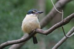 Sacred Kingfisher (mrdehoot) Tags: bird healesvillesanctuary kingfisher australianbirds sacredkingfisher todiramphussanctus avianexcellence