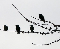 FBI: SILHOUETTE OF FOUR EUROPEAN STARLINGS (Frozen in Time photos by Marianne AWAY OFF/ON) Tags: birds ilovenature silhouettes fbi sturnusvulgaris ilovephotography flickraddicts favorites50 favorites60 birdsbirdsbirds europeanstarlings birdfanatics unlimitedbirds awesomenature birdpix birdsilhouettes mywinners nationalgeographicwannabes mywinnerstrophy diamondclassphotographer flickrdiamond featherwingedbirdphotography flickrdiamondthediamondclassphotographer favoritesbyinterestingness birdfanaticsnolimits birdpix3day siluetassilhouettes naturessilhouettes birdpixbirdpix3day featheredwingesbird natureunlimitedpublicgroupforever nationalgeographiswannabes naturesanctuary naturesanct chrysanthemumgallery
