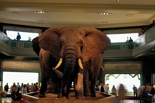 AMNH Elephant02