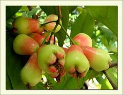 Unripe Fruits of Java Rose Apple (Syzygium javanicum)