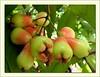 Syzygium samarangense (Wax Jambu, Rose Apple, Java Apple)