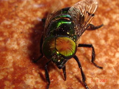 Varejeira Mosca Verde - blowfly (TarcisioRB) Tags: verde green mosca blowfly varejeira