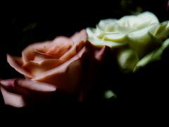 A Pair (Kirsten M Lentoft) Tags: pink white flower rose soft anawesomeshot impressedbeauty momse2600 kirstenmlentoft