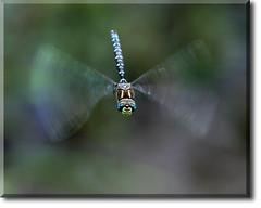 BlueDarner02s (K Swanson) Tags: canon insect rebel washington dragonfly snoqualmie crescentlake bluedarner