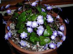 Hepatica double pale blue