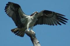 Osprey Landed (Rhode2Boston) Tags: bird florida wildlife raptor dunedin fl osprey honeymoonisland