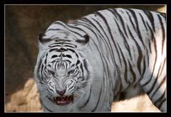 Posture (Unique_Snowflake) Tags: nature animal digital cat canon thailand eos zoo bravo bangkok wildlife tiger dslr bengal 30d dusit animalkingdomelite abigfave ef70200f28lis impressedbeauty ex2x
