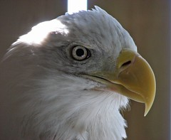 Eagle stare (dacardoso) Tags: