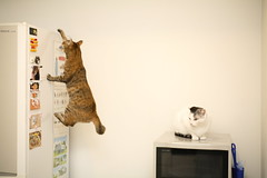 _MG_7851 (junku) Tags: cats matrix cat canon eos fridge kitten kitties 5d  kin rika   sigma50mmf28exdgmacro canoneos5d eos5d