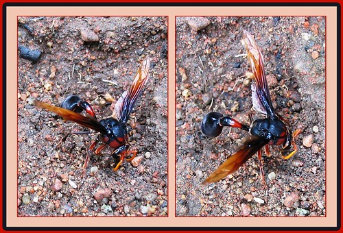 Potter and Mason Wasp (Eumeninae)