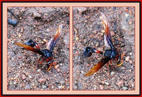 Potter and Mason Wasp (Eumeninae)