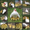 """TRIBUTE:  To Janet - """"Nature's Best""""  1/11/08 Janet's Muscovy Duck and her 11 babies (LA Lassie) Tags: usa georgia fdsflickrtoys mosaic topv1111 muscovyduck notmyphotos views1500 qemdfinchadminfave lalassiesmosaic naturesbestphotos 11duckys rememberingjanet 22favs1553views"""