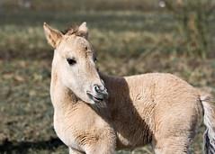 Konik Foal 2 - by Keith Marshall