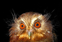 whiskered owl face