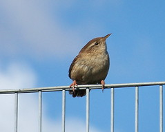 Wren in Russia Dock Woodland