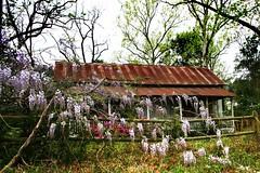 Love Shack (zkywords) Tags: pink geotagged rust purple shack azalea wisteria houstonist tinroofrusted oakridgenorth houstonistphotooftheday 80sreference geo:lat=30156255 geo:lon=95435743 houstonistflickrphotooftheday