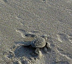 Released baby turtle, Acapulco, Mexico (by Rgtmum)