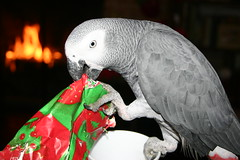 Brutus (Cal Bear 94) Tags: christmas xmas grey african parrot africangrey brutus parrotbythefire sojolly eatingwrappingpaper openinghispresent