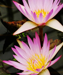 beauty twins (M. TANIGUCHI) Tags: pink flower water yellow japan waterlily kobe trophy naturesfinest blueribbonwinner supershot flowercolors topogigio2007