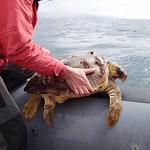 Meeresschildkröte zur Parasitenentfernung an Bord