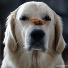 Discipline (clé manuel) Tags: dog hund golden retriever trick disziplin discipline white pet haustier kunststück