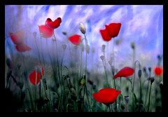 Kodachrome Watercolour (Tony Browne) Tags: field 64 poppy impressionism watercolour kodachrome impressionist impressedbeauty