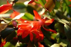 Schlumbergera truncata (Eira M.) Tags: christmascactus schlumbergeratruncata julekaktus