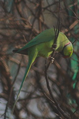 Rose-Ringed Parakeet (NotMicroButSoft (Fallen in Love with Ghizar, GB)) Tags: pakistan bird nature wildlife parrot islamabad avianfauna